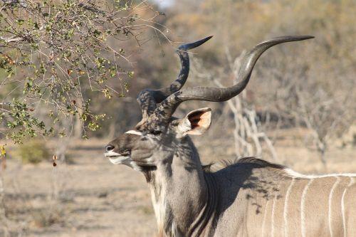 africa safari kudu