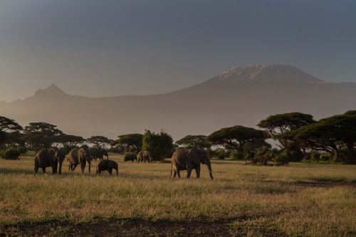 africa african bush elephant big five