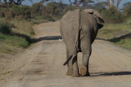 africa african bush elephant amboseli