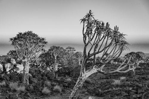africa  landscape  quiver tree