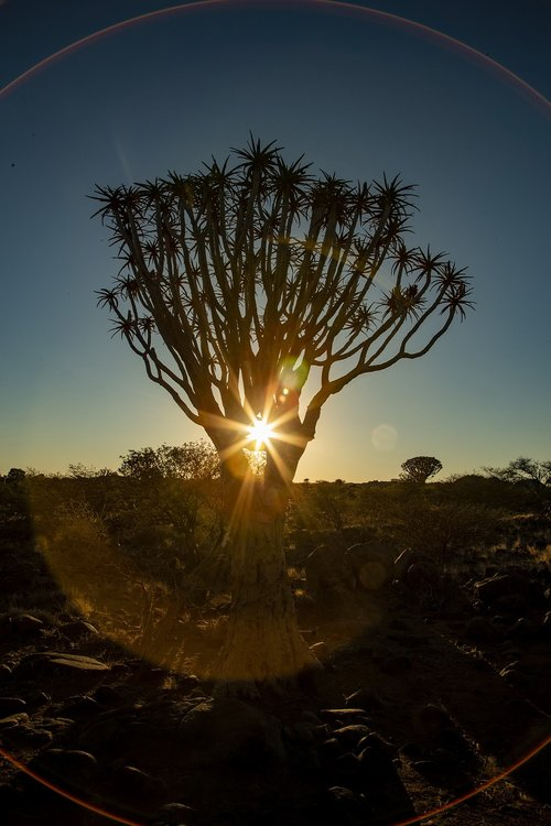 africa  sunset  quiver tree