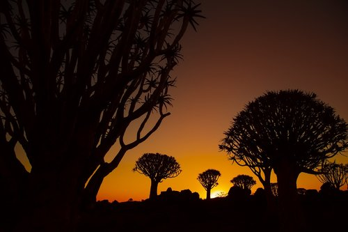africa  quiver tree  sunset