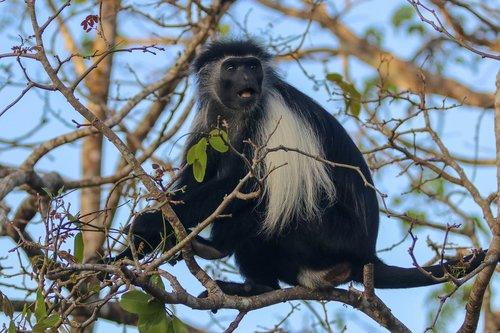 africa  kenya  ape