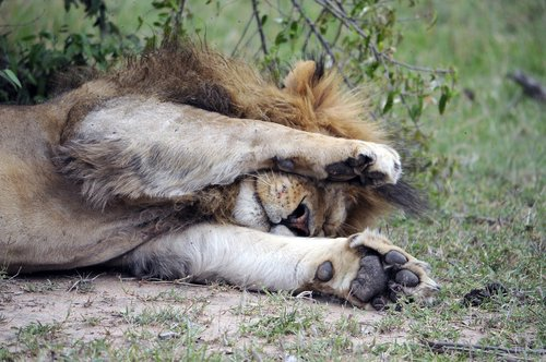 africa  lion  tired