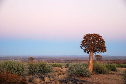africa sunrise quiver tree