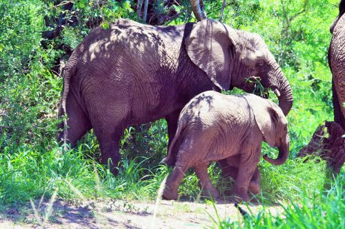 African Adult And Baby Elephant