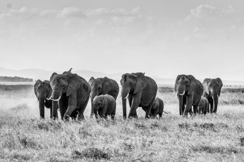african bush elephant elephant herd of elephants