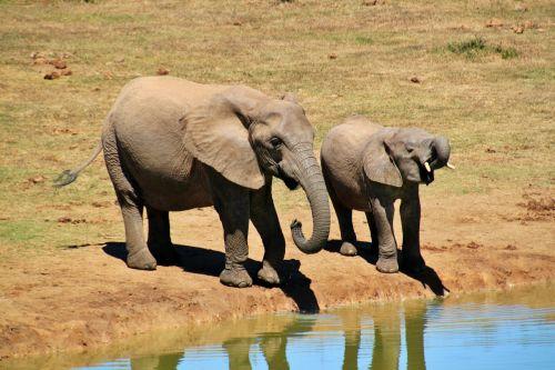 african bush elephant elephant animals