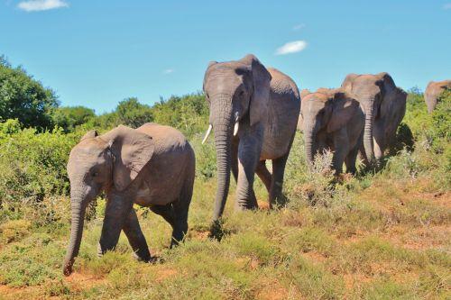african bush elephant flock elephant