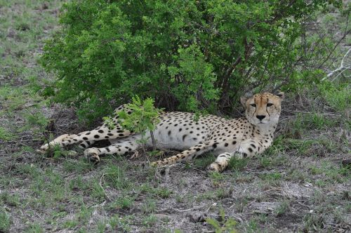african cheetah cheetah wildlife