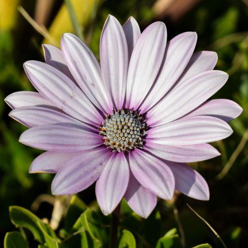 african daisy osteospermum daisy