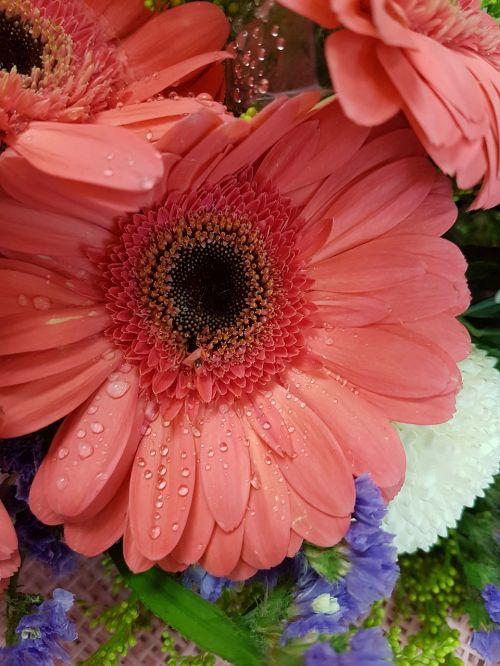african daisy daisy flower