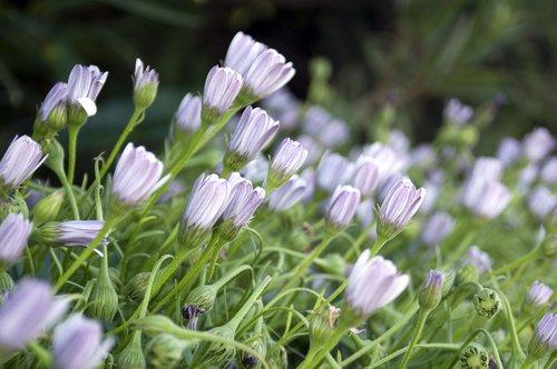 african daisy  daisy  osteospermum