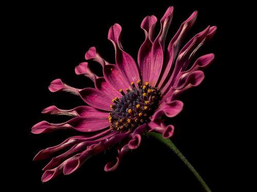 cape basket pink osteospermum