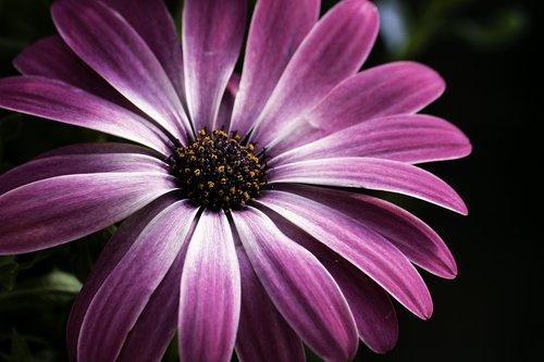 african daisy  daisy  pink