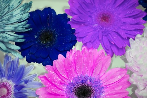 african daisy  attractive  background
