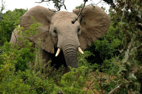 african elephant tusks trunk