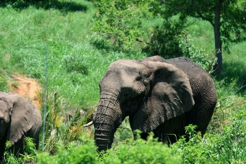 African Elephant In Green Bush