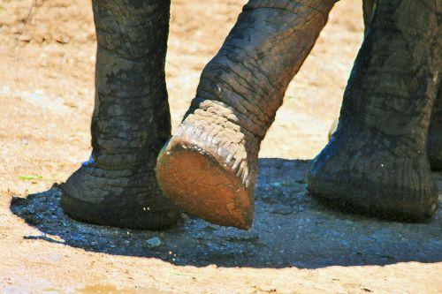 African Elephant Legs