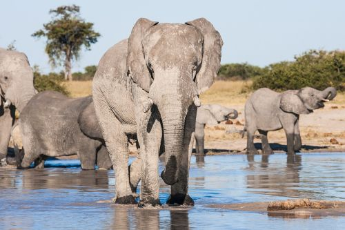 african elephants drinking elephants matriarch
