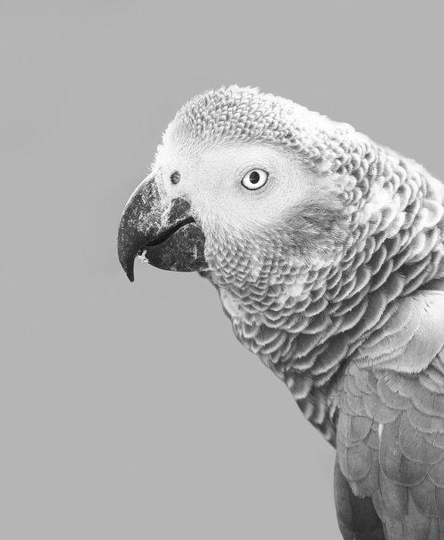 african grey parrot  parrot  bird