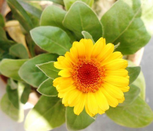 african marigold flower yellow