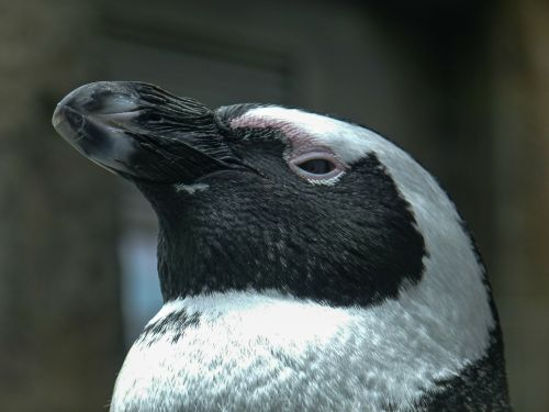 african penguin aves head