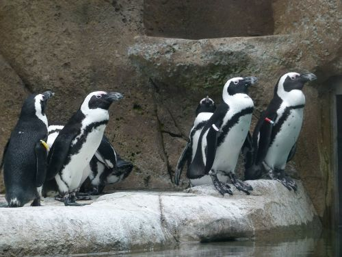 african penguin aves group
