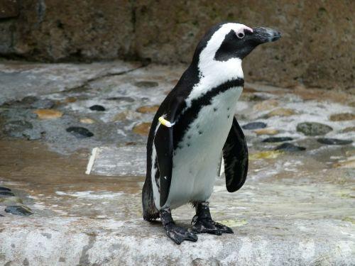 african penguin aves spheniscus demersus