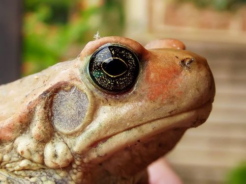 african red toad toad south africa