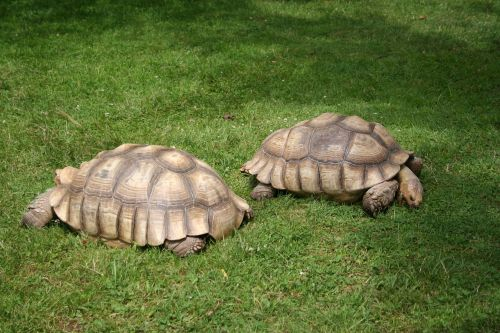 african spurred tortoise turtle giant tortoise