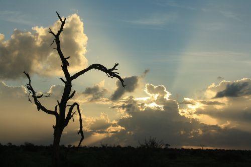 afrikos saulėlydis,sidabro pamušalas,miręs medis