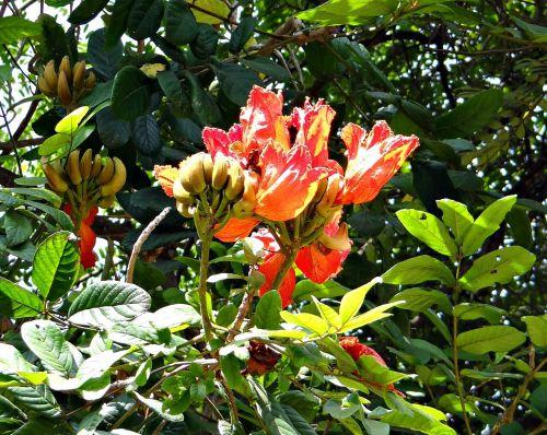 african tulip,fontanas,rudrapalash,spathodea campanulata,bignoniaceae,gėlė,raudona,pumpurai,Dharwad,Indija