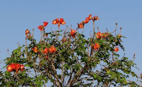african tulip,gėlė,medis,raudona,nrupatunga betta,Hubli,Indija