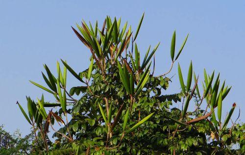 african tulip,sėklų ankštis,Hubli,Indija,medis,ekologiškas,Žemdirbystė,lauke,aplinka,lapai,filialai,gamta,miškas,miškas,dykuma,miškai