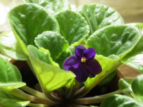 african violet flower violet