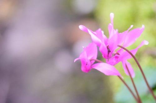 african violet  violet  alpenveilchen