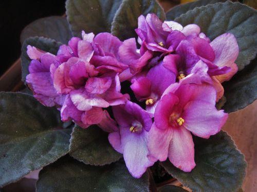 african violets,saintpaulia,violetinė,žydintis augalas,african violet,violetinė,augalas,kambarinis augalas,gėlė,gėlės,gamta,Uždaryti,žydėjo,botanika,botanikos,flora