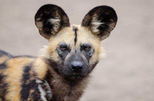 african wild dog lycaon pictus carnivorous mammal