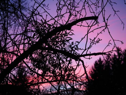 afterglow mistletoe evening