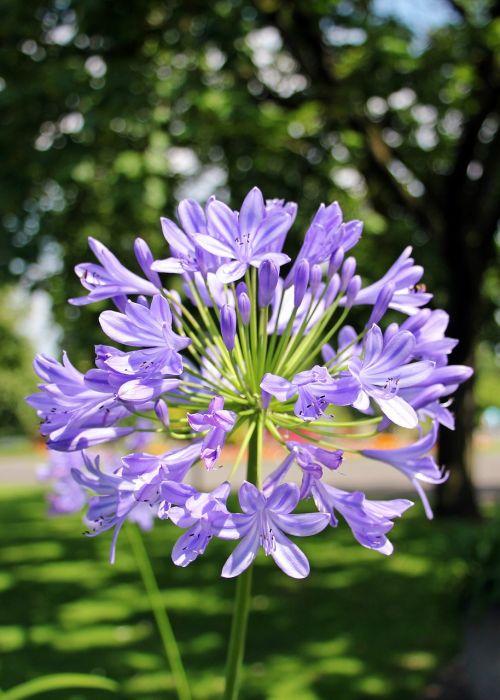 agapanthus love flower flower