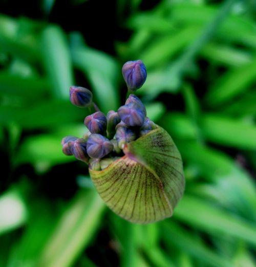 agapanthus flower florets