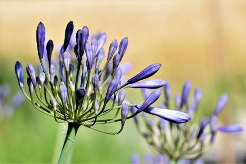 agapanthus purple green