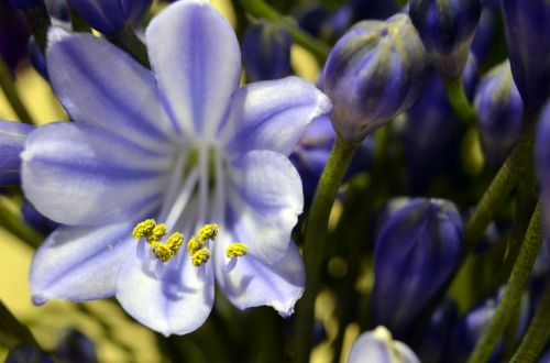 agapanthus blossom bloom