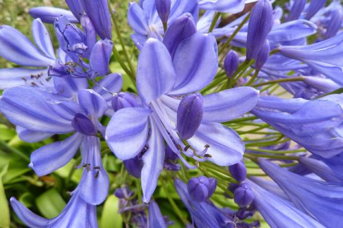 agapanthus brittany nature