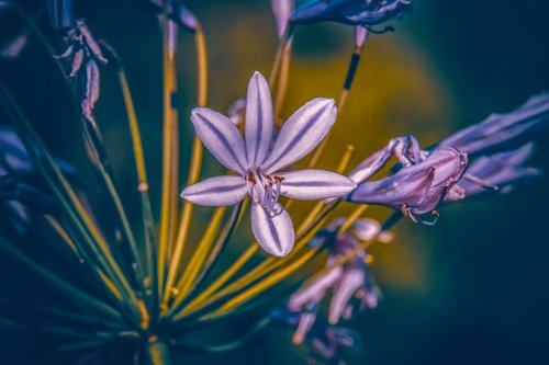 agapanthus  lily  colorful