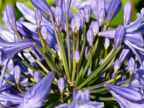 agapanthus flower blue