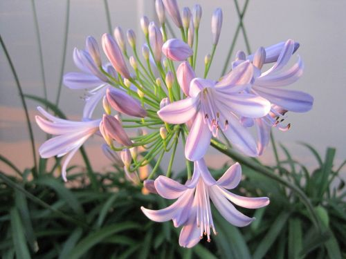 agapathus flower light