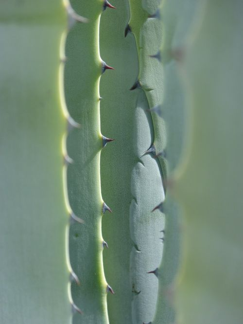 agave leaves texture