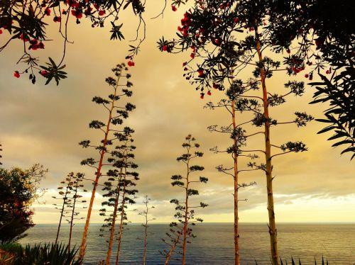 agave abendstimmung plant